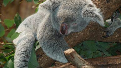 koala-bear-9960_640